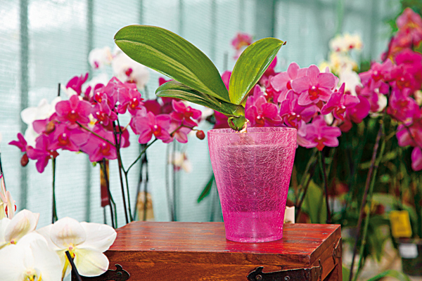 aby boli vase orchidey opat vo forme 1969 big image