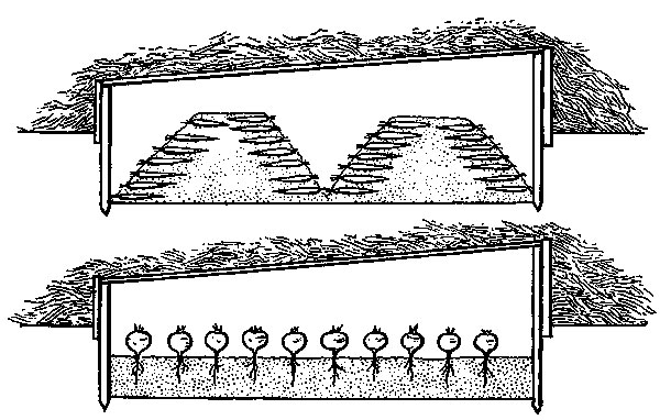 Uskladnenie zeleniny v parenisku - hore v kopčekoch, dole na záhone