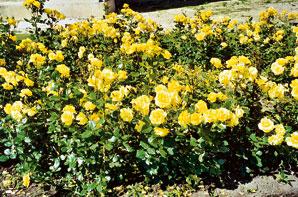 Sadové i nízke pôdopokryvné ruže sú vyšľachtené do rôznych farieb od červenej cez ružovú a oranžovú až po žltú a bielu.