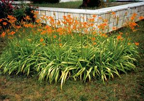 Oranžovo kvitnúca ľaliovka vnáša farebnosť do úpravy záhrady teplou oranžovou farbou svojich kvetov.