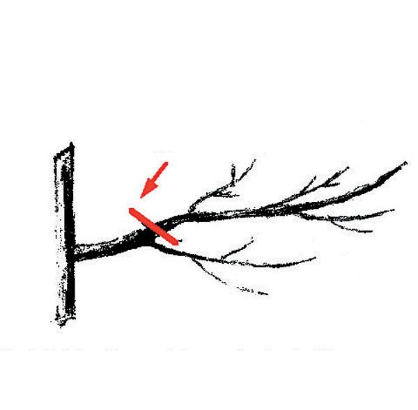Rodivý konárik. Náhrada rodivého konára. Rez: Ak bočný konár presiahne polovicu hrúbky stredníka je nutné ho odstrániť a nahradiť, vhodným, tenším.