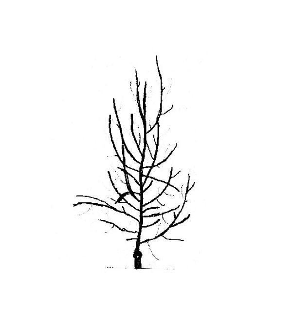 Tvarovanie: Rez a tvarovanie stromčeka v 3. roku po výsadbe (pred rezom). Snažíme sa robiť minimálne zásahy rezom. Odstraňujeme to najnutnejšie, rez nahrádzame ohýbaním a vyväzovaním.