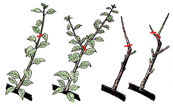 Krátky rez: A - prvé skrátenie alebo nalomenie; B - rez na pätku; C- vytvorené generatívne púčiky na pätke; D - skrátenie vytvoreného výhonku