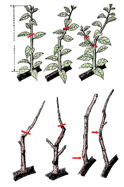 Dlhý rez: A - prvé zaštipnutie za 4. listom; B - druhé zaštipnutie; C - druhé zaštipnutie rozkonáreného letorastu; D - opravný zimný rez na jar; E - ďalší zimný rez; F - vrchné nalomenie; G - spodné nalomenie