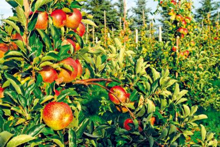 db55df704 Ovocné stromy – rezať či ohýbať?   Urob si sám