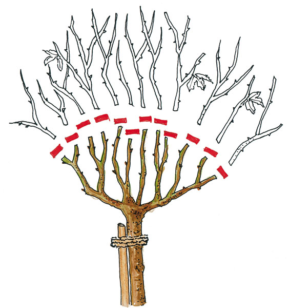 Korunky stromčekových ruží treba na jar skrátiť o polovicu dĺžky tak, aby očká smerovali vo. Tak sa zachová ich guľovitá koruna.