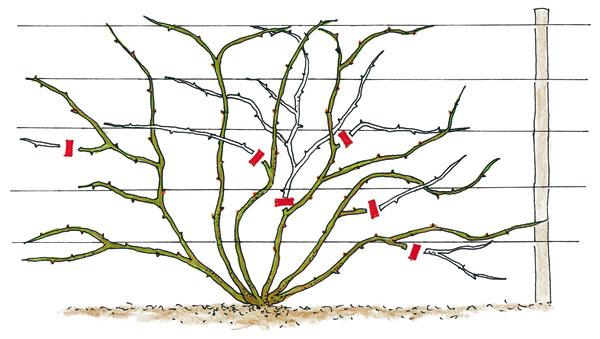 Pri Jarnom reze popínavých ruží (opakovane kvitnúcich odrôd) odstraňujeme len staré bočné výhonky, ktoré rastlinu zbytočne zahusťujú.