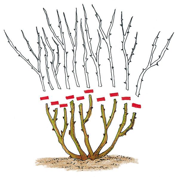 Záhonové a miniatúrne ruže striháme po posledných jarných mrazoch. Polynatky (mnohokvetné ruže) sa skracujú na 40 cm. Floribundky skracujeme na 5 - 7 očiek. Vznikli krížením polyanthybridov s tzv. čajohybridmi, ktoré sa vyznačujú veľkými kvetmi ušľachtilých tvarov.