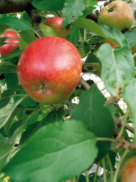 Odroda Eva – letná