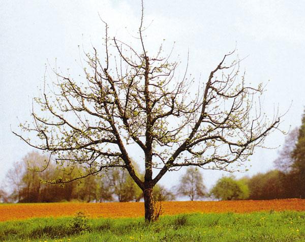 Obdobie medzi 15. decembrom a 15. januárom využívajú skúsenejší záhradkári na rezanie vrúbľov.