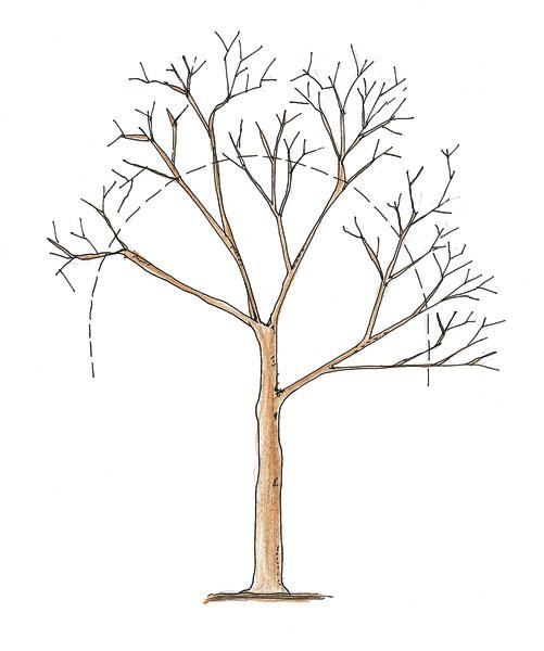Rezy kôstkovín, marhúľ a broskýň robíme v neskoršom termíne na začiatku vegetácie, keď sa rany hoja lepšie.