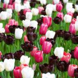20 pestrych tulipanov