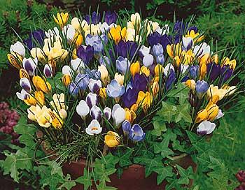 60 krokusov botanickych