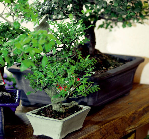 ako uspesne pestovat bonsaje