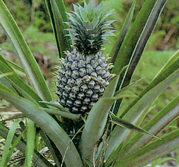 ananasovnik ananas comusus
