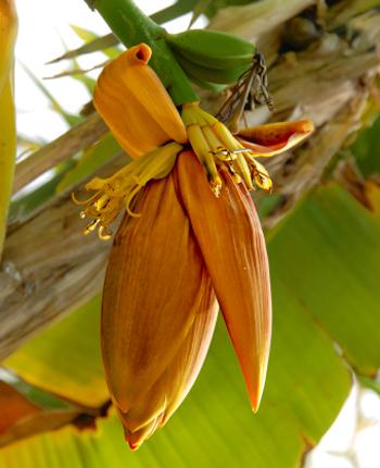 bananovnik musa