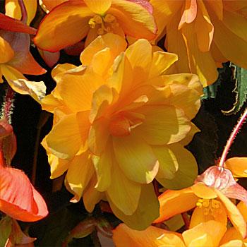 begonia illumination
