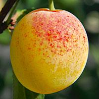 bellamira hybrid mirabelly