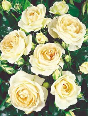 biela zahonova ruza