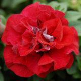 cervena petunia rebecca
