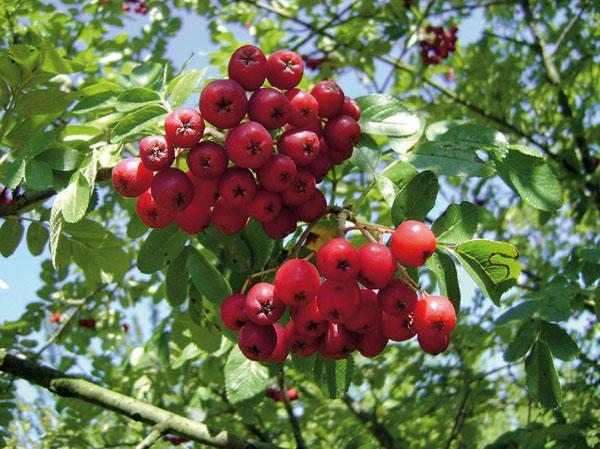 cervene a modre plody nielen na okrasu ale aj uzitok
