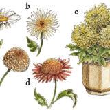 Chryzantémy - kvety jesene