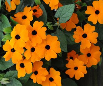 Čiernooká Zuzana oranžová