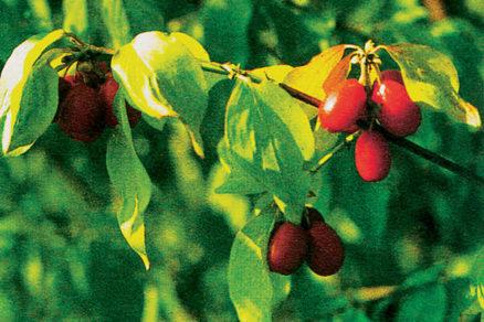drien zabudnute drobne ovocie
