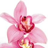 Energická orchidea - cymbídia