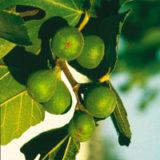 Figovník zelený