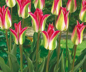 Floriosa