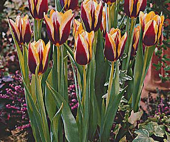 gavota tulipan