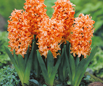 Gipsi Queen hyacinty