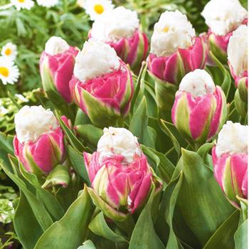 ice cream tulipany