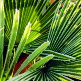 Ako zazimovať palmy