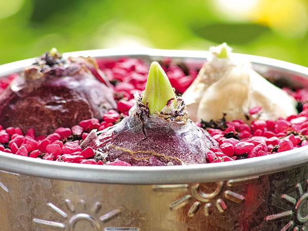 Vytvorte si kvetinové dekorácie z hyacintových cibúľ