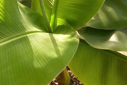 Všetko o pestovaní banánovníka