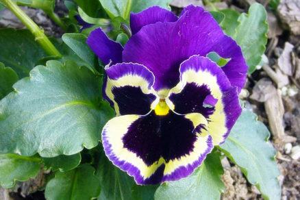 Nezábudky, primule, prvosienky a sirôtky v našich záhradách