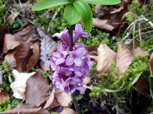 Daphne (Lykovec) – nebezpečná krása