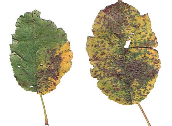 Čo s tmavými listami na jabloni