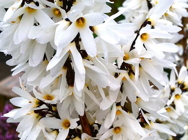 Biela zlatovka - nádherne kvitnúci ker