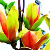 Nádherná magnólia s neskorým kvitnutím