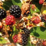 Prečo sa plody černíc nevyfarbia?