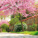 Vysádzame okrasný strom do malej záhrady