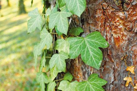 Škodí brečtan stromu?