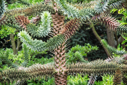 Araukária - exotický, dekoratívny strom