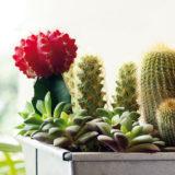 Tipy na zimné a predjarné ošetrovanie kaktusov a sukulentov