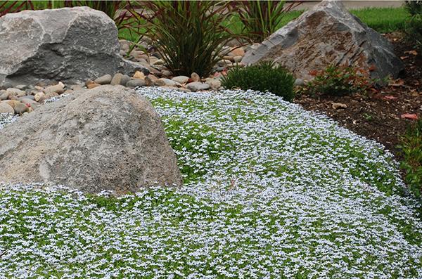 Rýchlorastúca trvalka s modrými kvetmi v tvare hviezdy