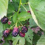 Čo nám likviduje úrodu černíc?