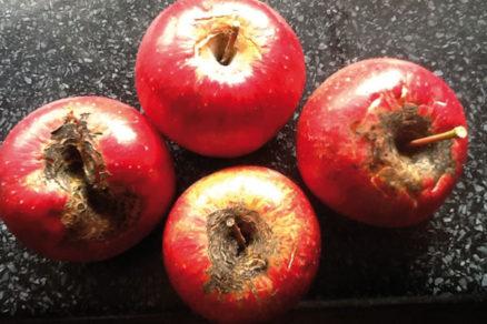 Ako postupovať pri chrastavitosti jabĺk